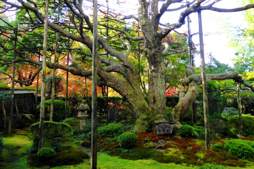 Hosen-in, Goyo-no-matsu (White pine / Pinus Parviflora) and moss garden