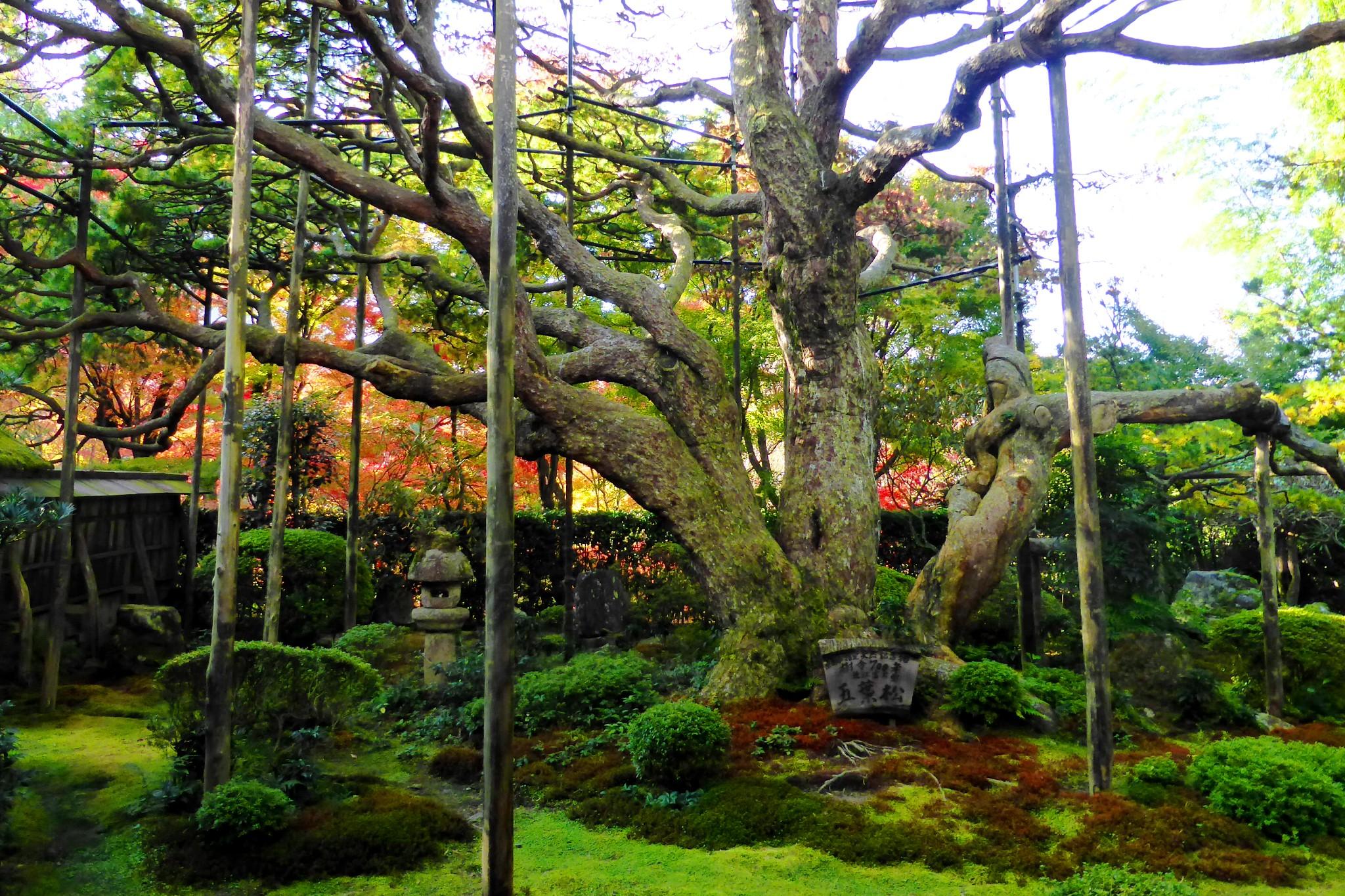 Hosen-in, Goyo-no-matsu (Pinus Parviflora)
