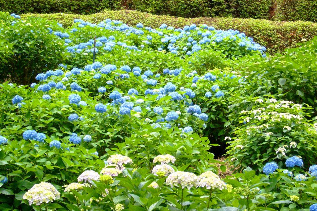 Mimuroto-ji, Hydrangea