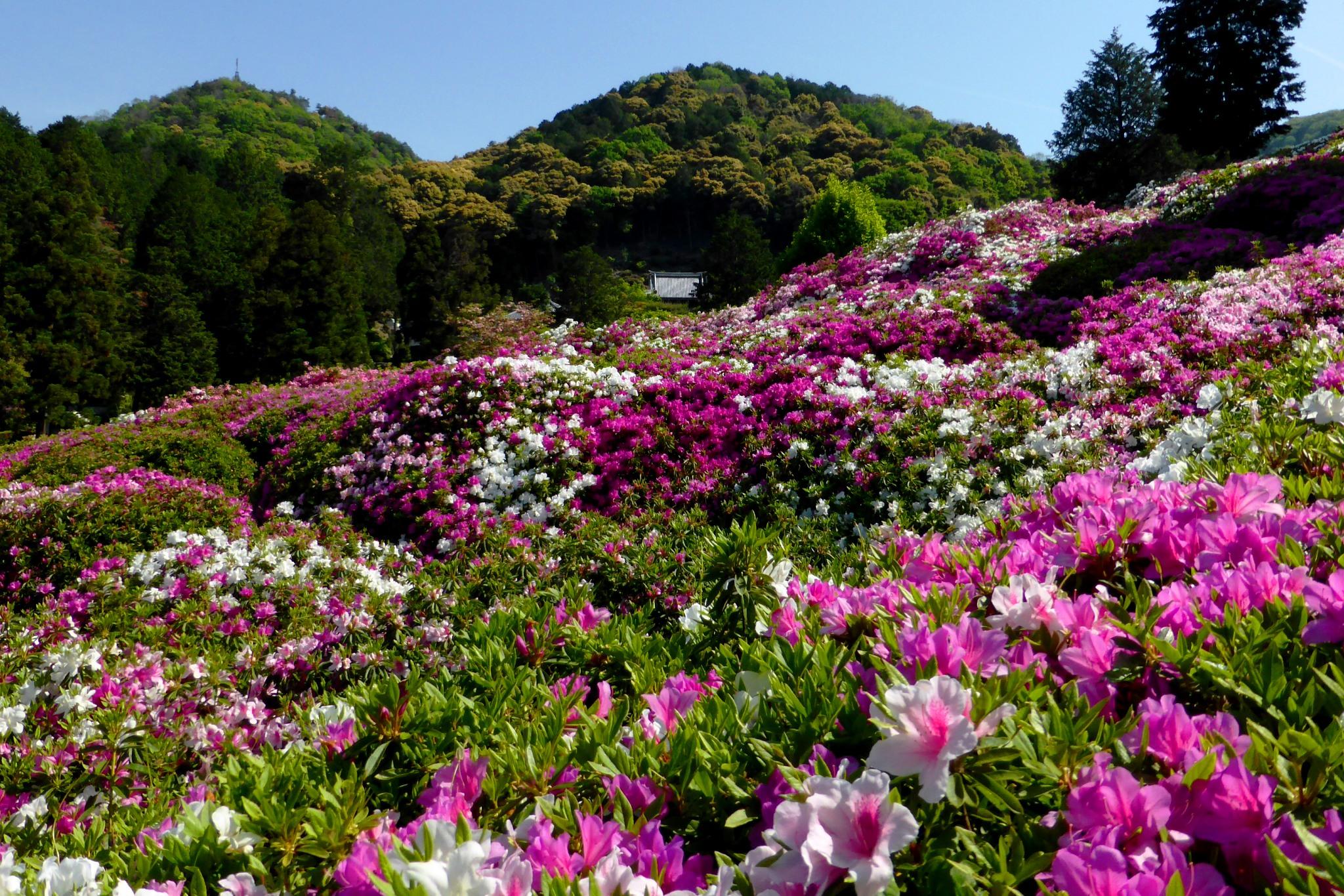 Mimuroto-ji, Azalea