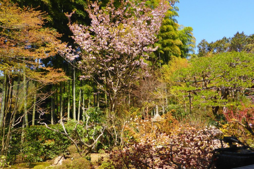 Hosen-in, Cherry blossoms in Bankan-en (Garden)