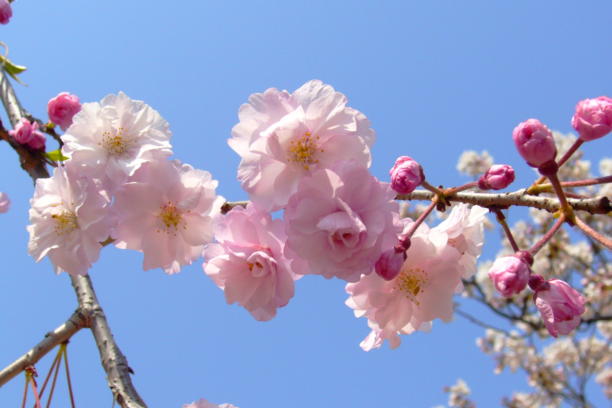 Featured Image-Sakura